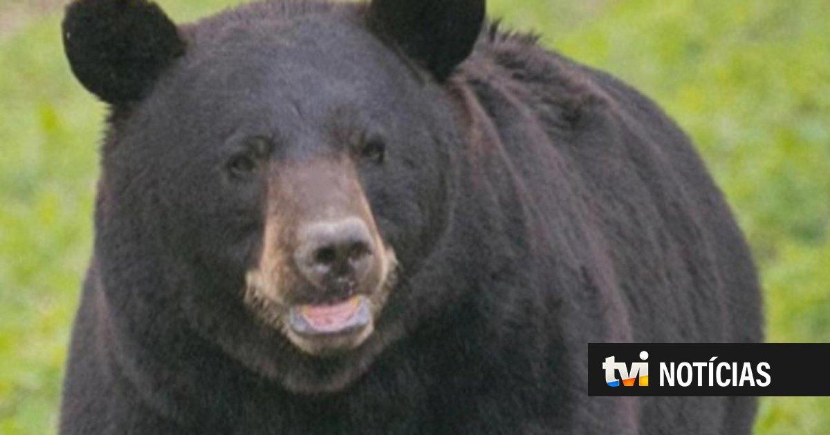 EUA: urso viaja centenas de quilómetros por várias cidades em busca de companheira | TVI24